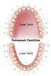 Dental notation permanent teeth, eps8