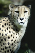 Wildlife and Animals - Cheetah