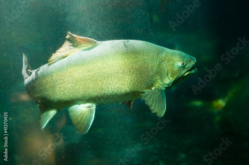 Underwater shot of trophy sized Tiger Trout