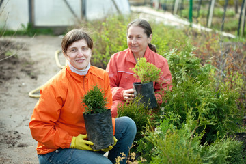 women chooses thuja sprouts
