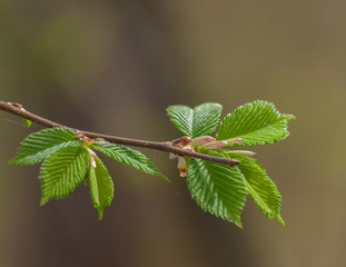Branch with hazel leaves in natural habitat