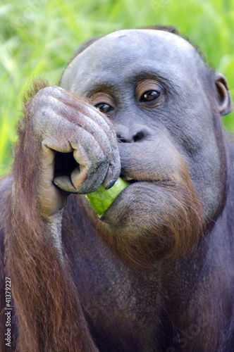 Wildlife and Animals - Orangutan
