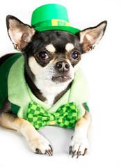 St. Patrick's Day Chihuahua