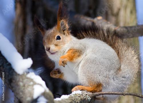 Tuinposter Eekhoorn squirrel on a tree