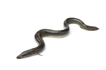 Single fresh  European eel