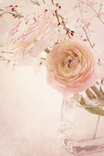 Fleurs Ranunculus