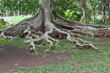 racines de ficus cordifolia, île Maurice