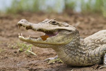 Cayman (Caiman crocodilus fuscus) with butterfly feeding in its