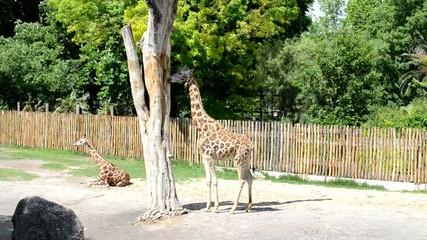 Giraffa mentre si nutre