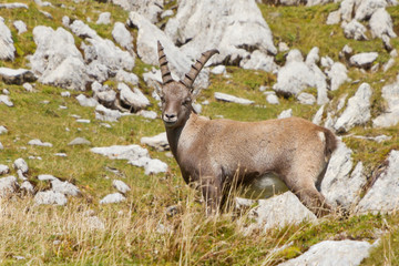 young male alpine ibex