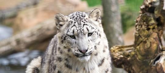Once (Panthera uncia)
