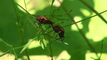 Two defenders Bedbug stagger in the wind on a sheet