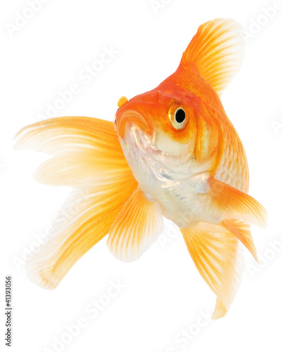 Goldfish on White