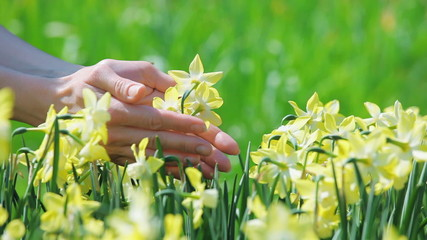 Yellow narcissus flowers caressed by woman hand, closeup view