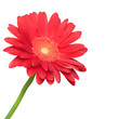 Red flower on white background