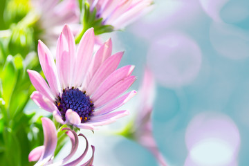 pink daisy over teal bokeh