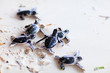 Baby green turtles - 41398405