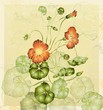 Greeting card with nasturtium. Illustration nasturtium.
