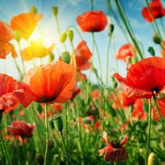 poppies field in rays sun