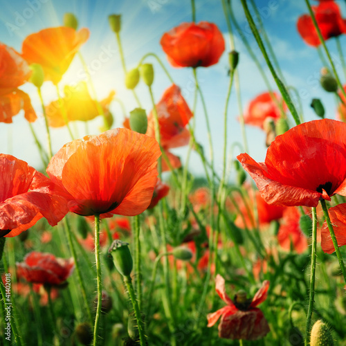 Obraz poppies field in rays sun