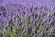 rich lavender
