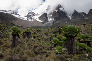 Mount Kenya with Giant Grounsels