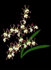 dark brown orchid flowers on black