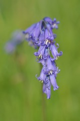 Close-up of Bluebells with an ant on the top bell
