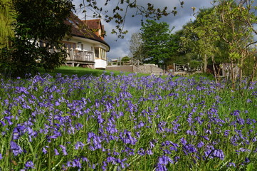 Carpet of Bluebells in an English Garden