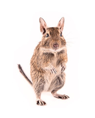 Young degu isolated