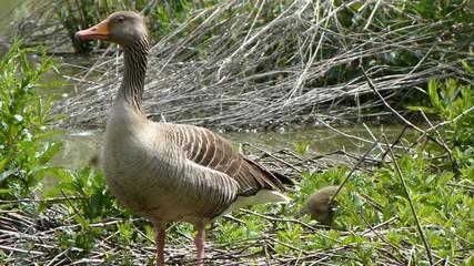 Oca selvatica con pulcini. Greylag Goose with chick