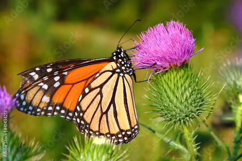 Monarch Butterfly (Danaus plexippus) - 41434213