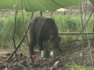 Bär inspiziert unser Camp wildlife Katmai/Alaska