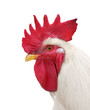 white rooster head