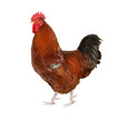 brown rooster isolated on white