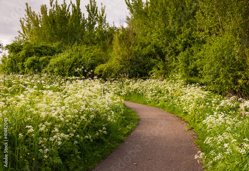Small path between white flowering Cow Parsley