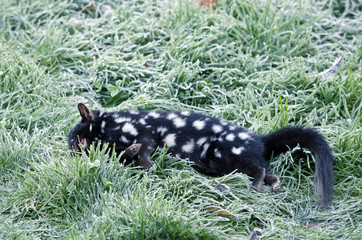 Dead Eastern Quoll lying on frosty grass. Tasmania, Australia