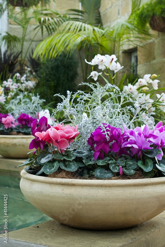 Cyclamen plants in beautiful earthenware pots in garden room