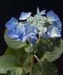 canvas print picture - Tellerhortensie; Hydrangea serrata; Blaumeise