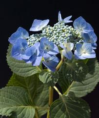 Tellerhortensie; Hydrangea serrata; Blaumeise