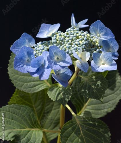 canvas print picture Tellerhortensie; Hydrangea serrata; Blaumeise