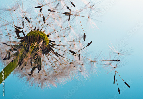 Fotobehang Paardebloem Dandelion: We fly away to fulfill wishes