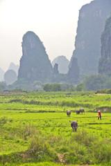 Chinese rice plantation