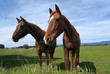 Two curious horses in pasture