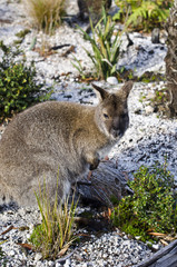 Wallaby in Tasmanian bush
