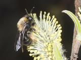 Sand bee pollinating, macro photo poster