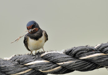 european swallow