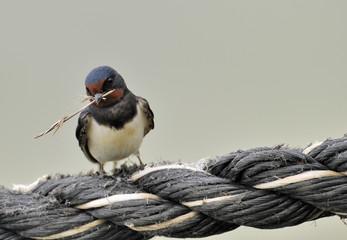 european swallow