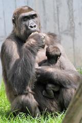 1205016 - Gorillas