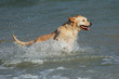 Golden retriever running and playing in shallow water